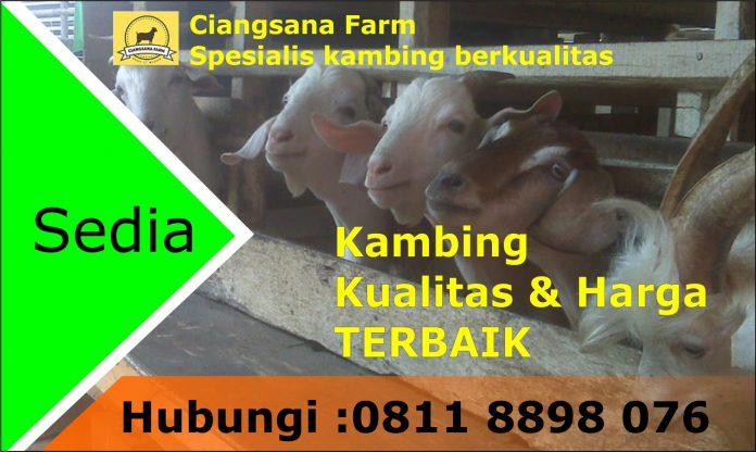 Ciangsana Farm Sediakan Kambing Qurban Wilayah Jabodetabek