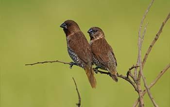 Ternyata Begini Isi Rayuan Cinta Burung Pipit Yang Kasmaran Ringan Riuh Laduni Layanan Digital Untuk Negeri