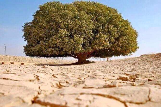 Pohon Sahabi, Pohon Tempat Nabi Muhammad Saw Berteduh yang masih hidup sampai sekarang.