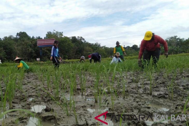 Kabupaten Landak Kembang Jenis Bibit Padi Lokal