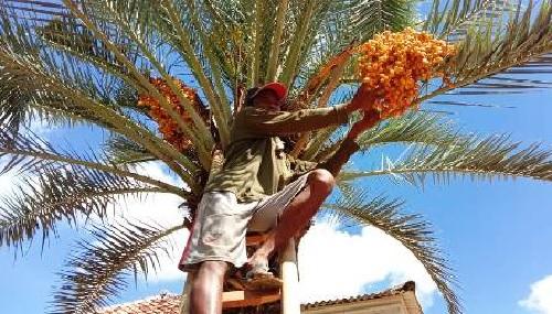 Pohon Kurma Ajwa Berbuah Ditawar 150 Juta